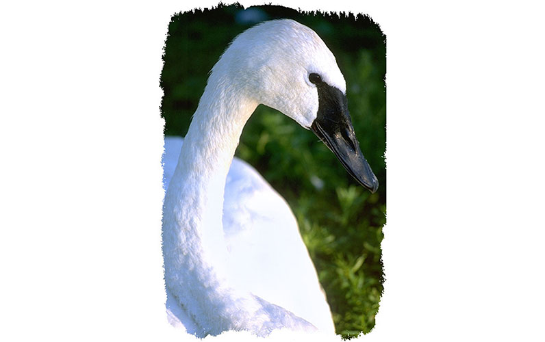 Trumpeter Swan by Tom Groot