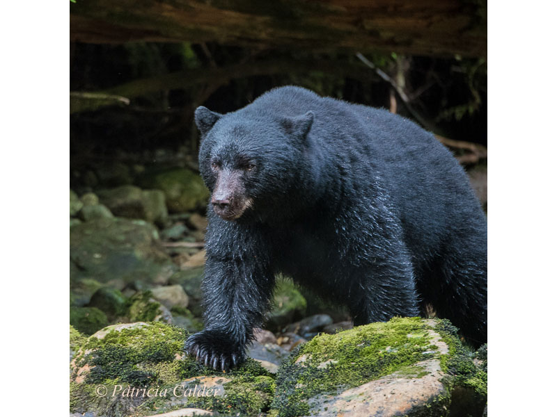 Black Bear, BC © Patricia Calder