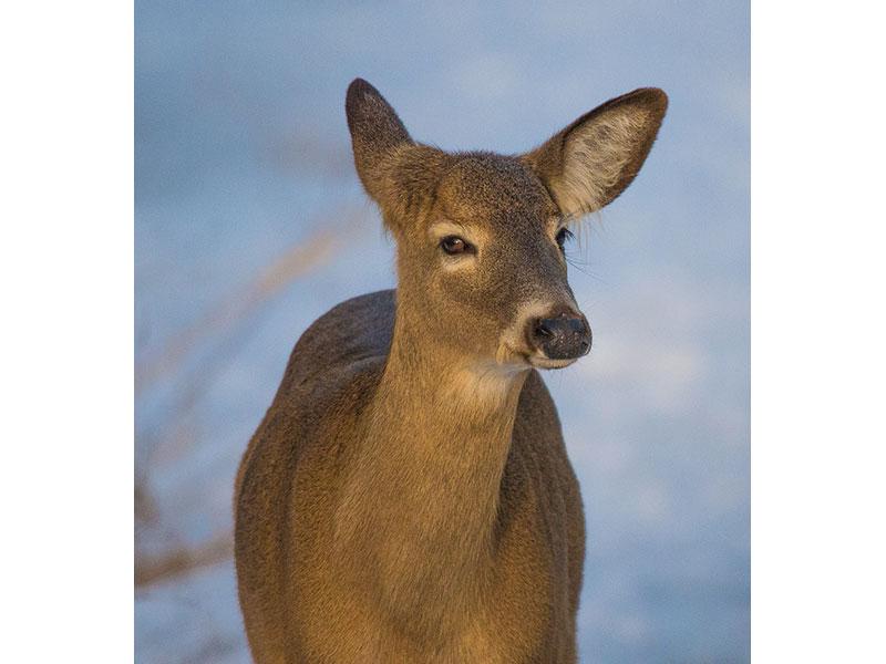 Deer, Lynde Shores, ON © Patricia Calder