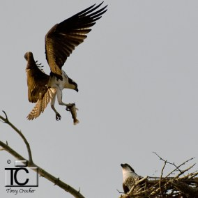 Osprey with Fish by Tony Crocker
