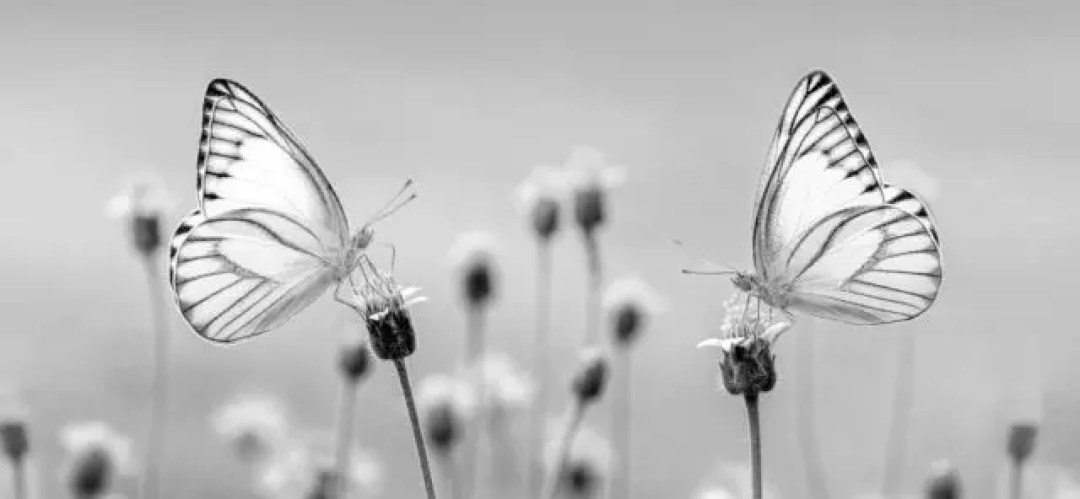 二匹の蝶・三匹の蝶の夢