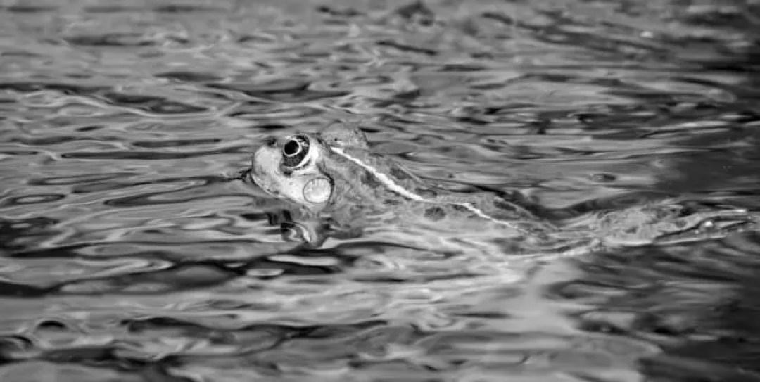 水中のカエル