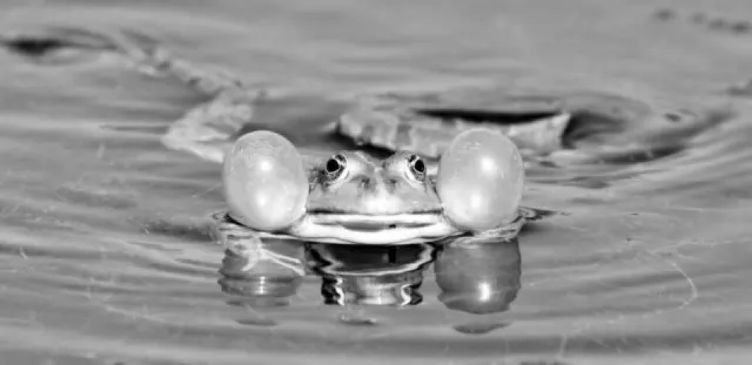 鳴くカエル