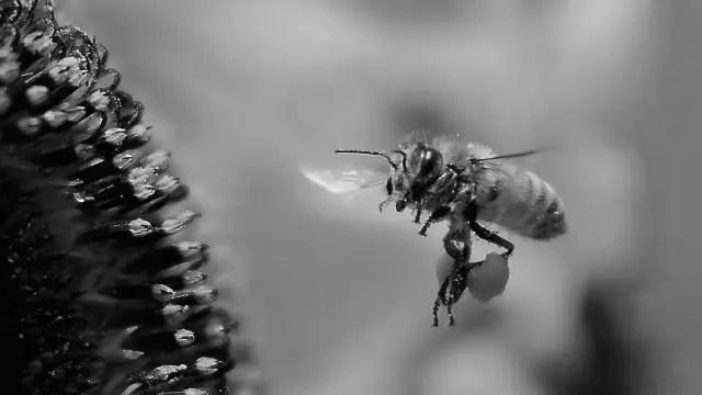 蜜を運ぶ蜂 飛ぶ