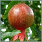 fruit-pomagranate-plant