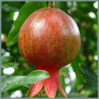 fruit-pomagranate-plant