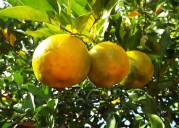 huile essentielle de bergamote bronzage huile essentielle de bergamote pour dormir huile essentielle bergamote prix huile essentielle bergamote pranarom essence de bergamote alimentaire huile essentielle citron huile essentielle ylang ylang huile essentielle orange douce