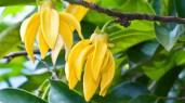 Fleurs d'ylang ylang