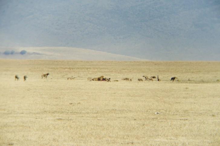 ライオンが仕留めた獲物に群がる動物たち