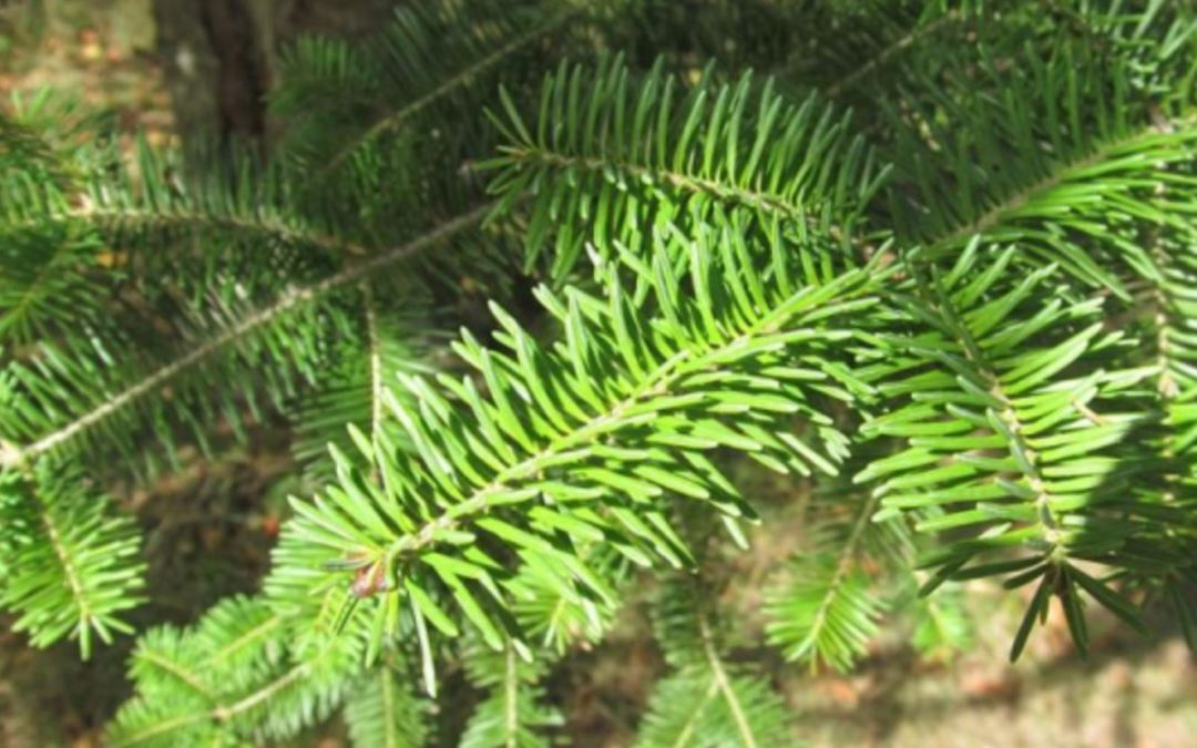 My Elder Sister: Nimisenh, Balsam Fir