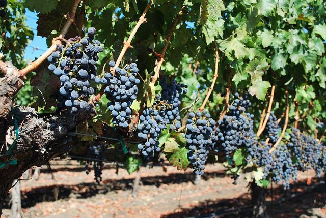 Вино лучше делать из винного винограда, а не столового. Поскольку столовые сорта никогда не дадут благоухающий букет и интересное послевкусие