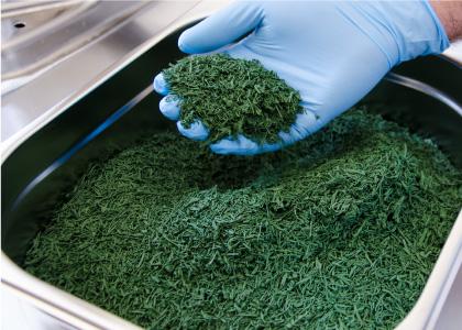 Le producteur de spiruline de Montauban fabrique les paillettes et comprimés.