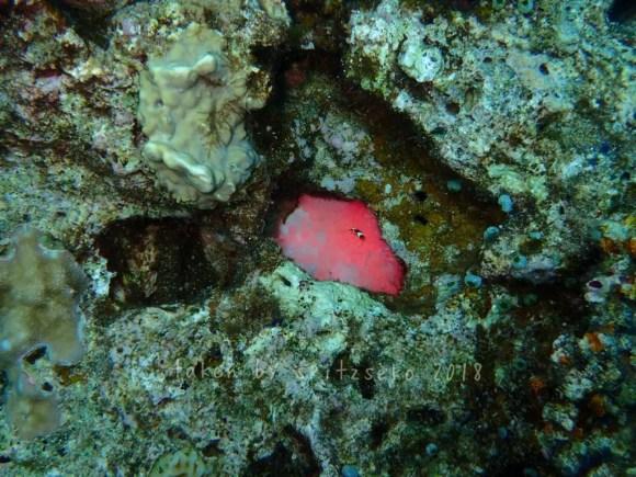 穴の奥にピンクのイソギンチャクがひっそりと