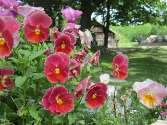 Okay, I'm not that great at flower names. Pansy?
