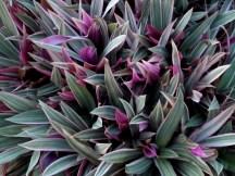 Amazing purple leaves.