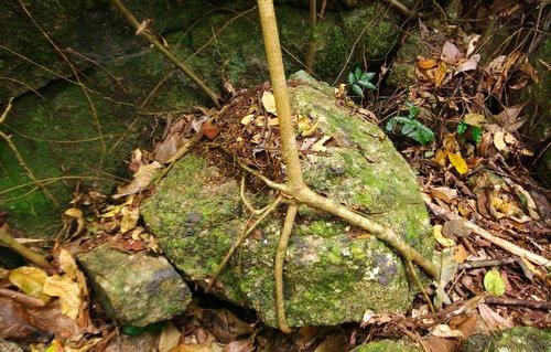 Strangler fig holding rock