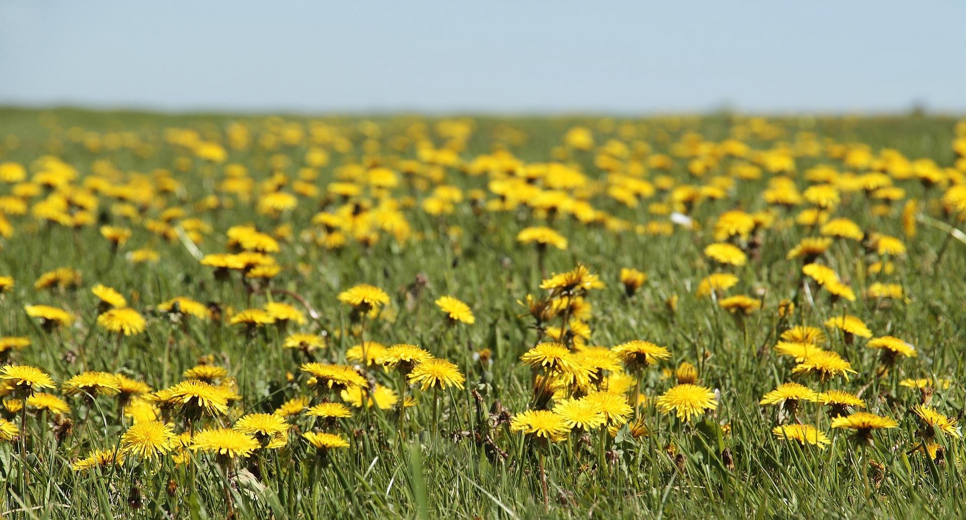 field of dandelions blue sky