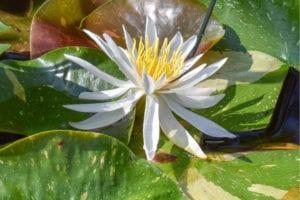 Nympphaea Arc-en-ciel Hardy Waterlily