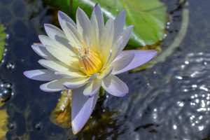 Nymphaea Green Smoke Tropical Waterlily