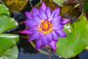 Nymphaea Lindsey Woods Tropical Waterlily