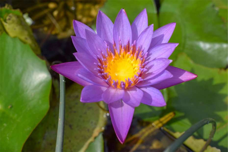 Nymphaea Panama Pacific Tropical Waterlily