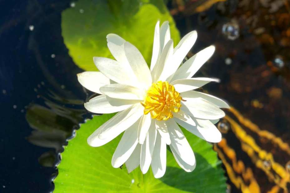 Nymphaea Trudy Slocum Tropical Waterlily