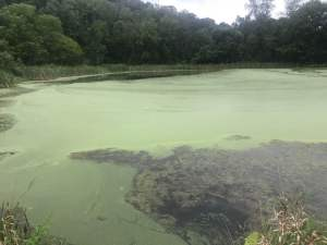 Watermeal covering a pond in York, PA