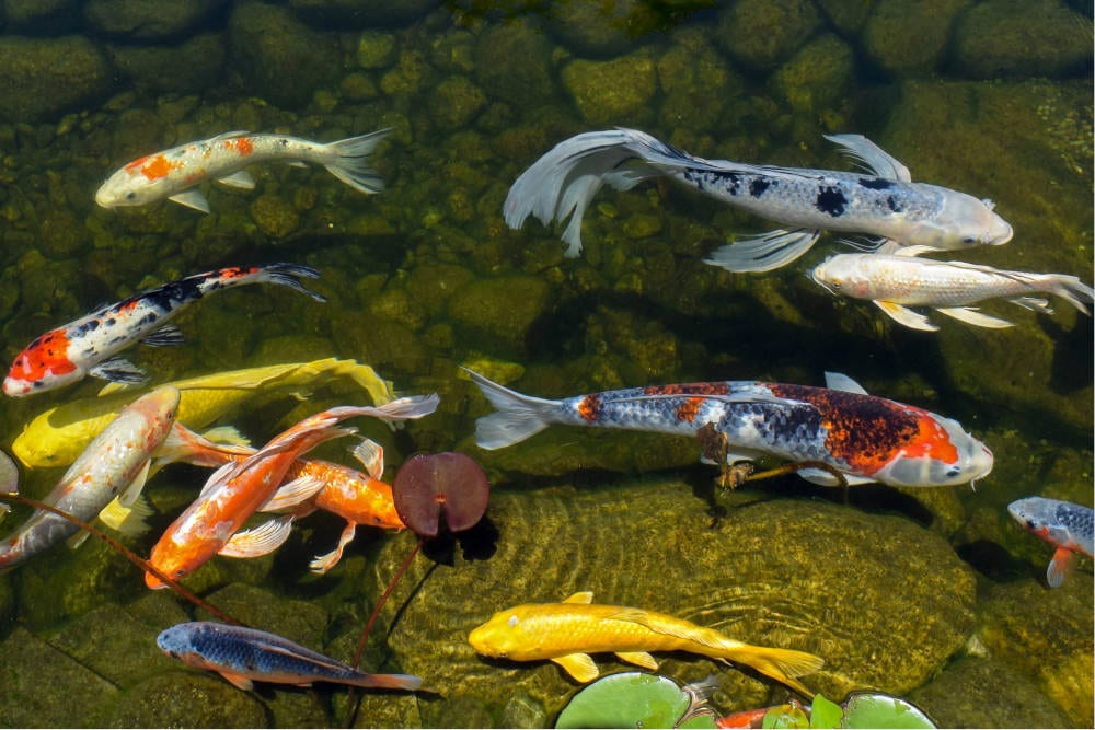 What S The Difference Between Koi And Goldfish 4 Factors To Consider For Your Pond Splash Supply Company