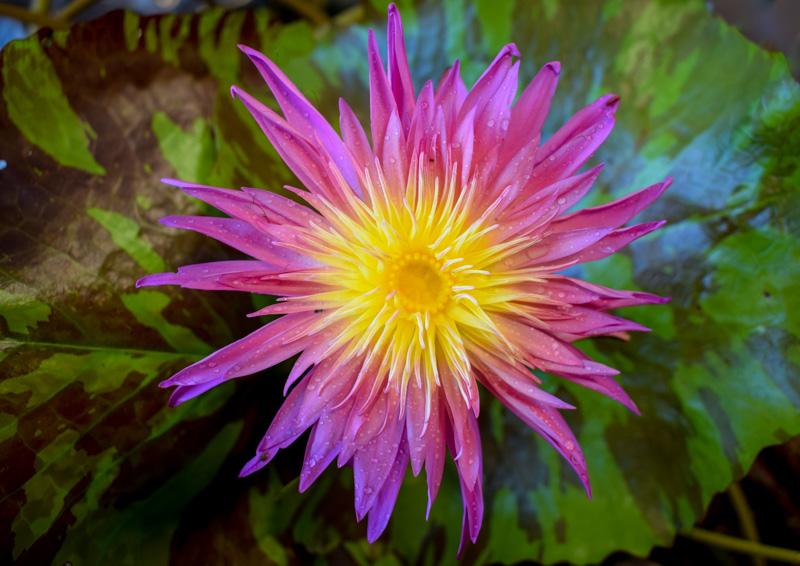 Valentine Tropical Waterlily