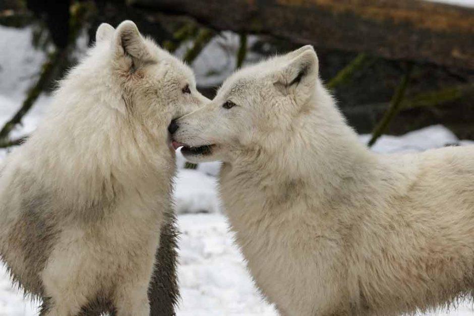 zoo servion loups