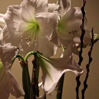 White amaryllis, lasting beauty with ease, the calm before the storm….