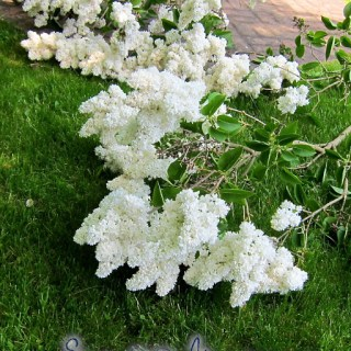 white lilacs and sawing logs…