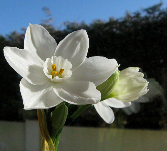 Narcissus turns to the sun