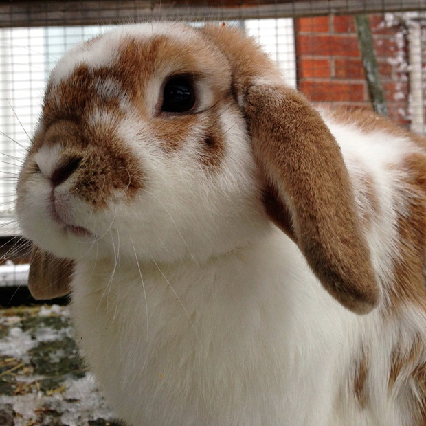 Ginger the Bunny Rabbit