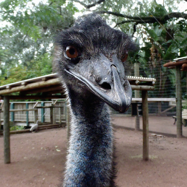 Face to Face with an Emu