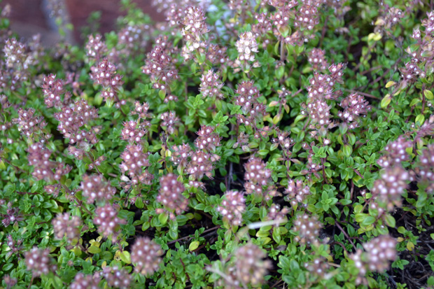 Herb Plants from Gardening Express