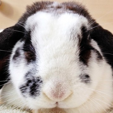 Sleep Well Chocolate Bunny x