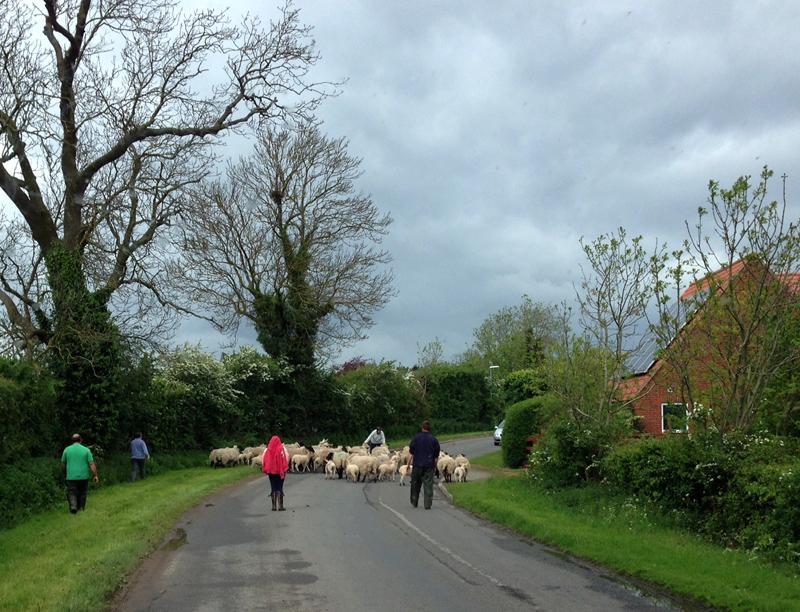 10 May - Lincolnshire Sheep