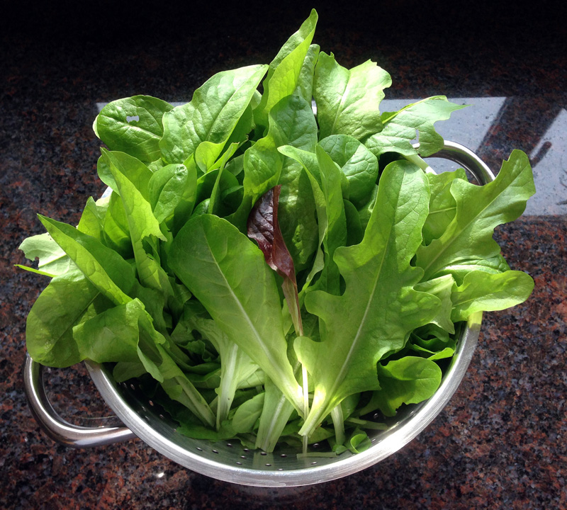 Home Grown Lettuce