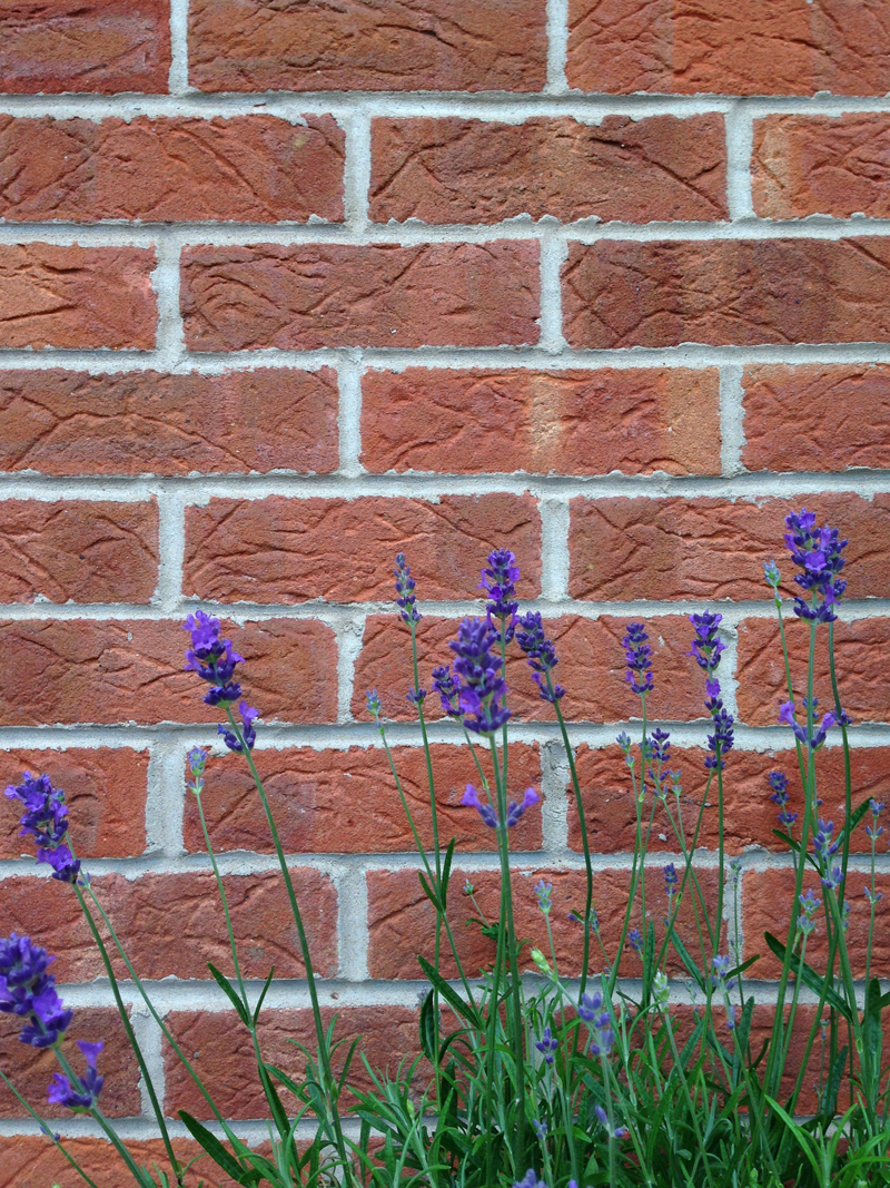 14 June - Lavender against the Wall