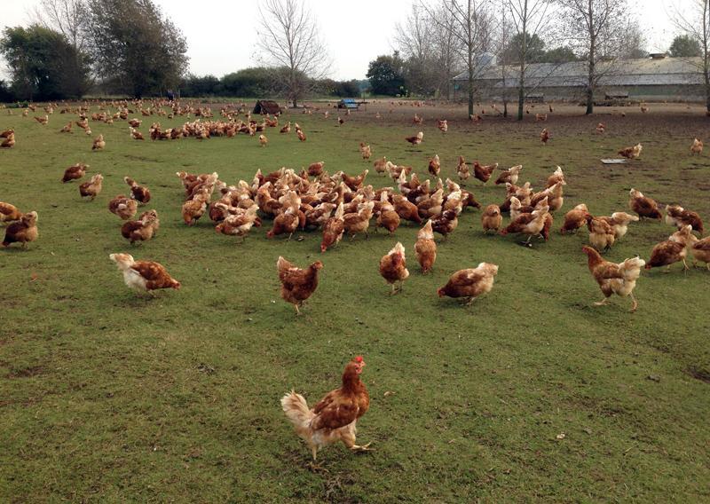 Crazy free range hens just outside Ruskington