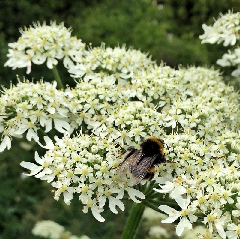30DaysWild - Bee