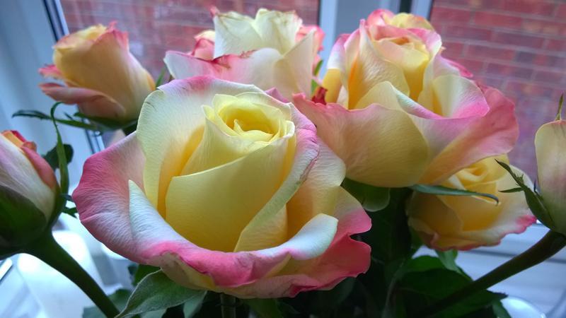 Roses - Taken on Microsoft Nokia Lumia 830