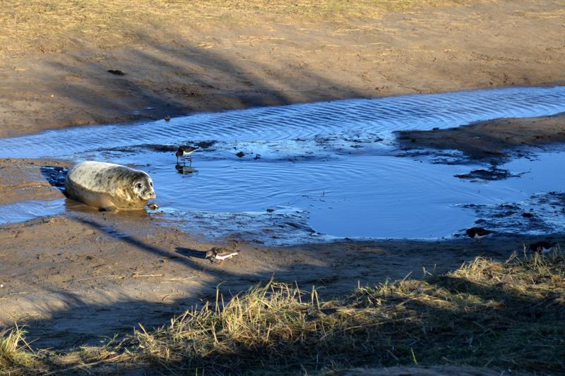 The Seals at Donna Nook Nature Reserve, Lincolnshire, December 2015 - Splodz Blogz