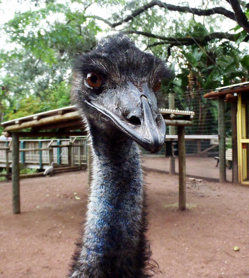 Orlando, Florida - Emu