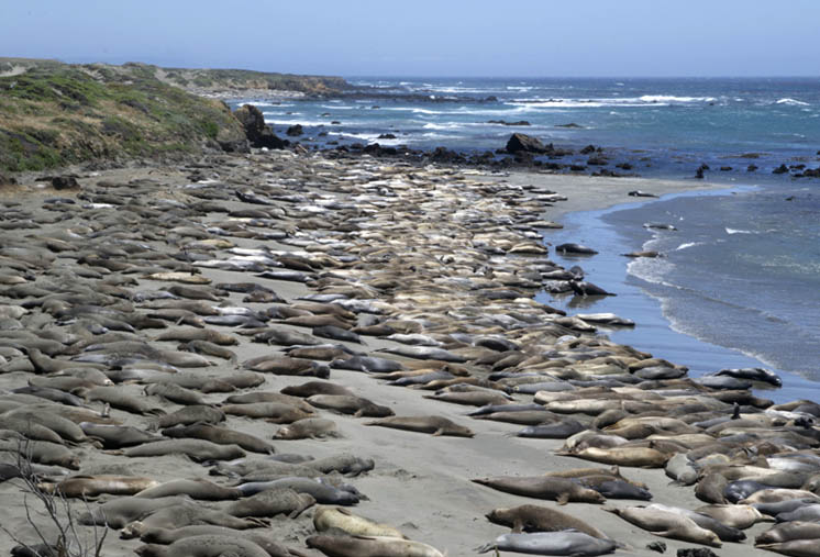 Zartusacan - Elephant Seals