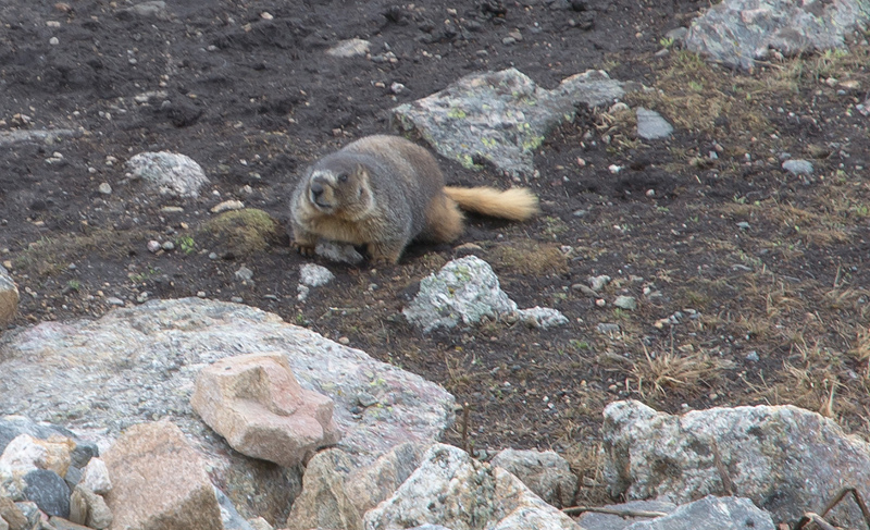 Yellow Bellied Marmot, Rocky Mountains National Park