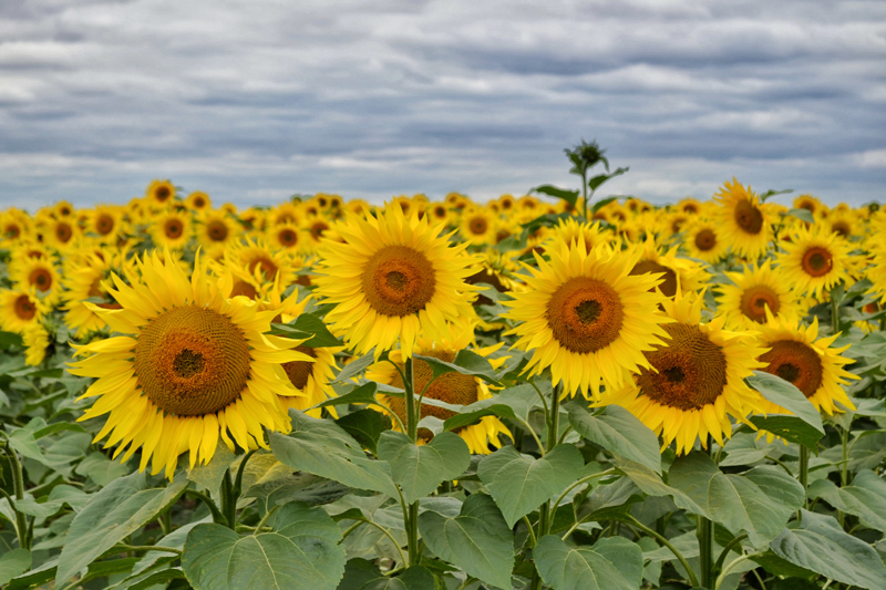 Farm Walk at Vine House Farm, Lincolnshire - Sunflowers