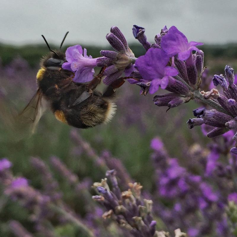 Bees at Mayfields Lavender Farm, Surrey - Splodz Blogz