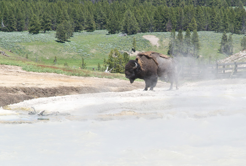 Wildlife in Yellowstone National Park